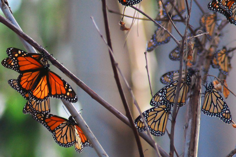 Monarch Butterflies in Pacific Grove