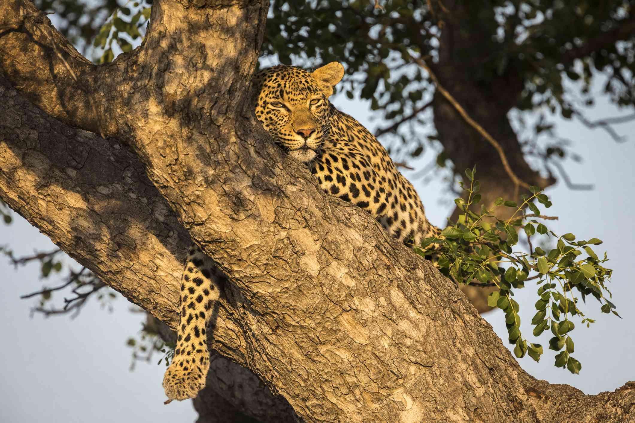Female leopard resting in a tree, Sabi Sands Game Reserve