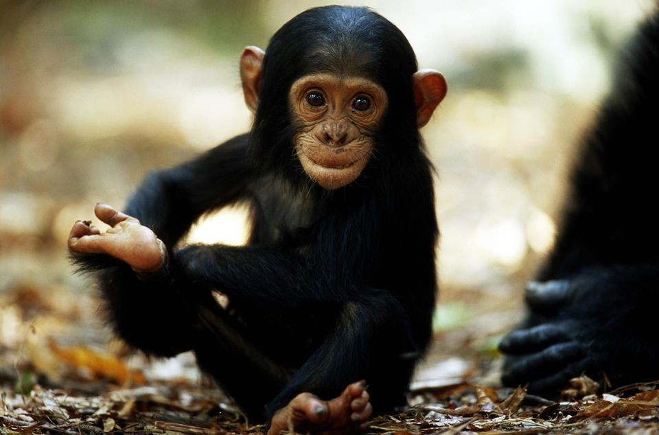 Baby chimpanzee in Mahale Mountains National Park, Tanzania.