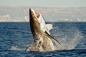 Great white shark breaching in the ocean off Gansbaai, South Africa