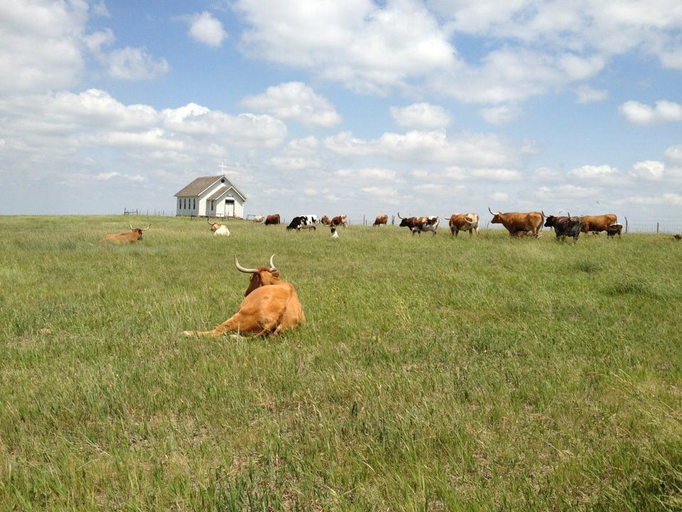 steer in a field, with three laying down, on a partly cloudy day