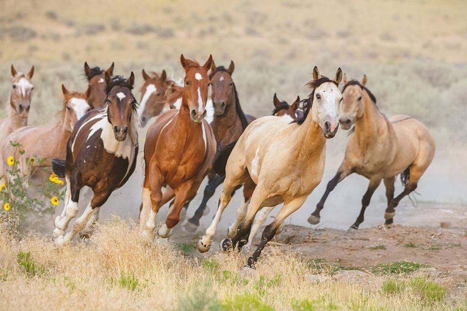 Wild horses running in Utah, USA