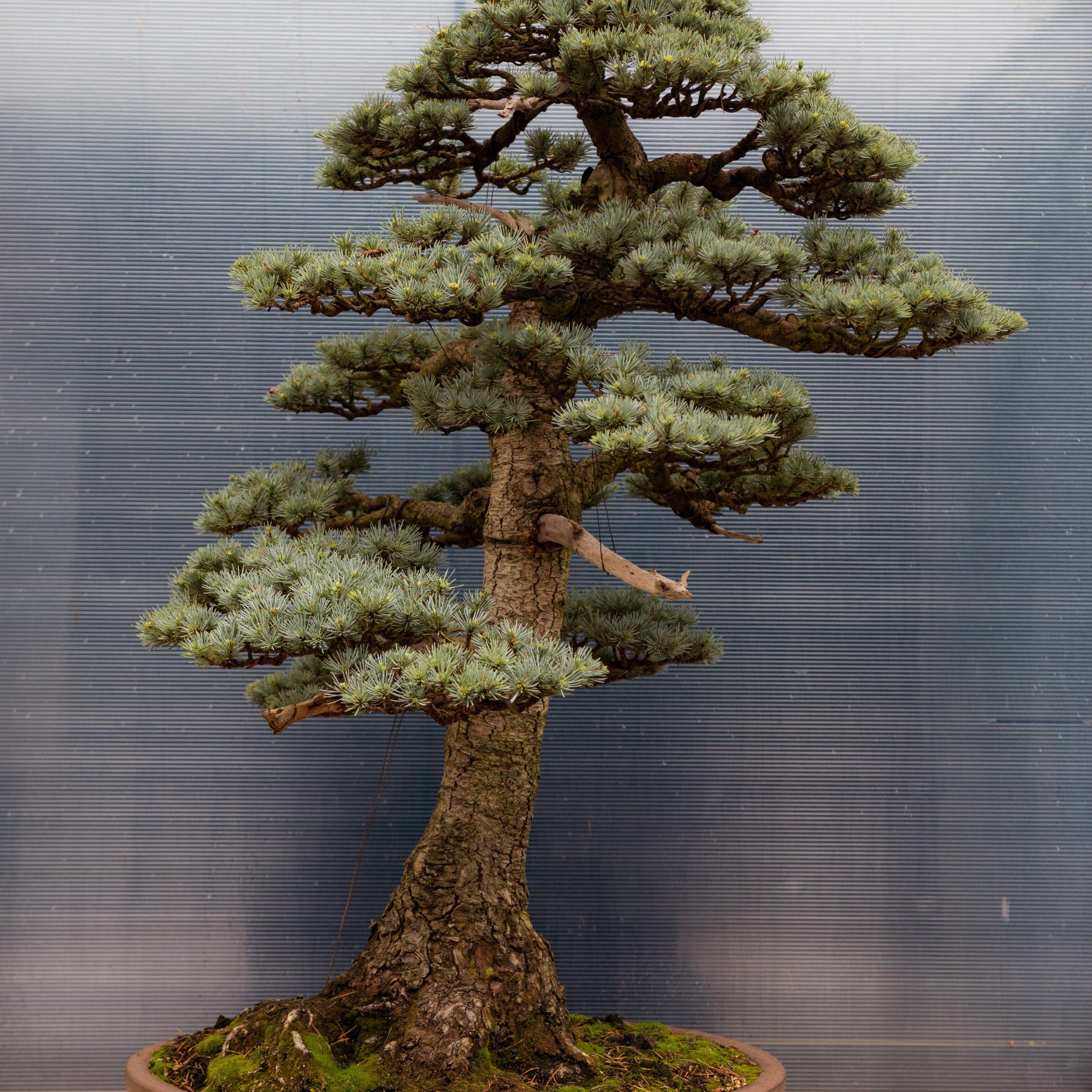 Bonsai tree at the Pacific Rim Bonsai Center