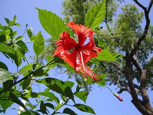 El Salvador flower