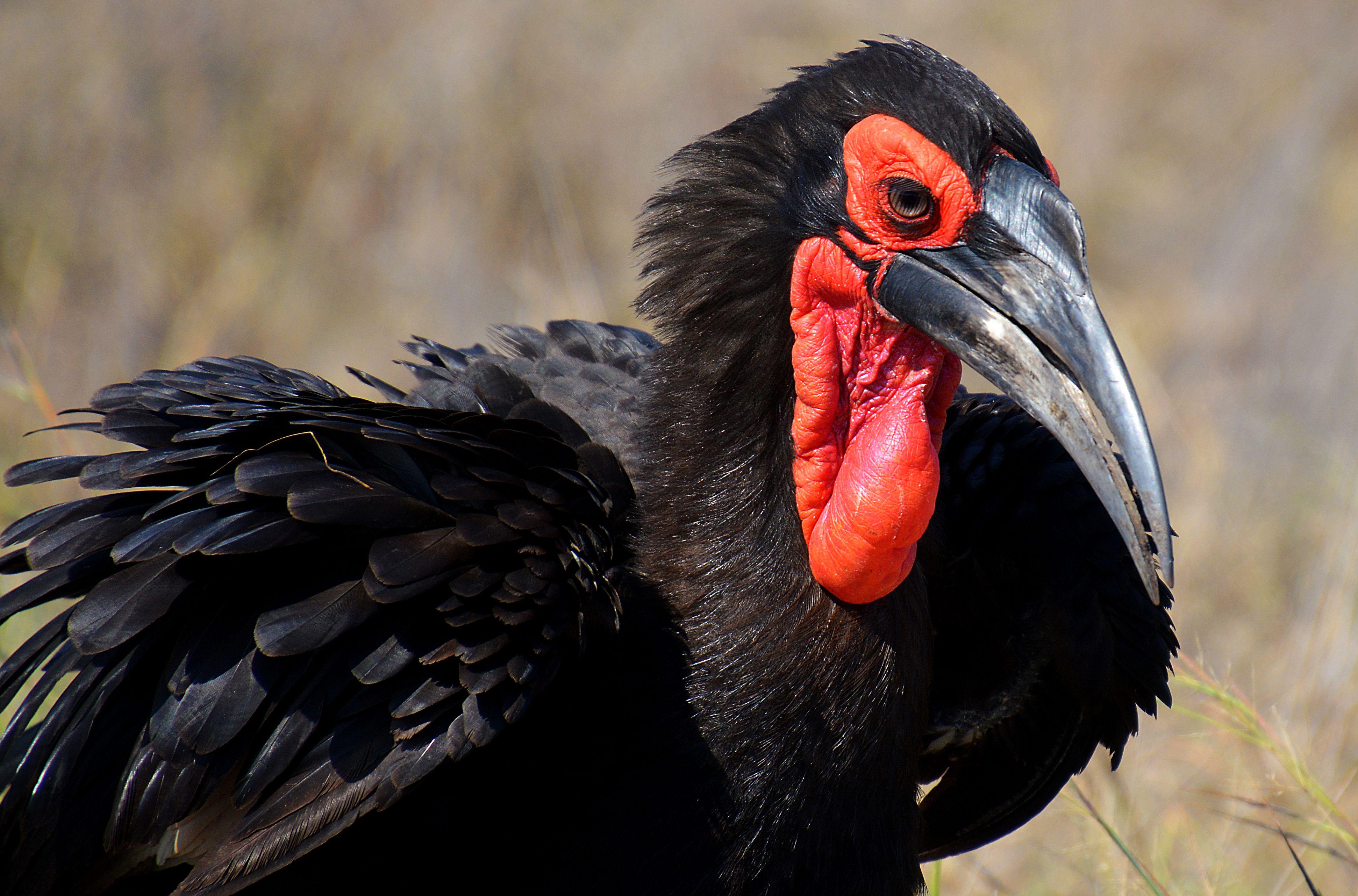 ground-Hornbill South Africa