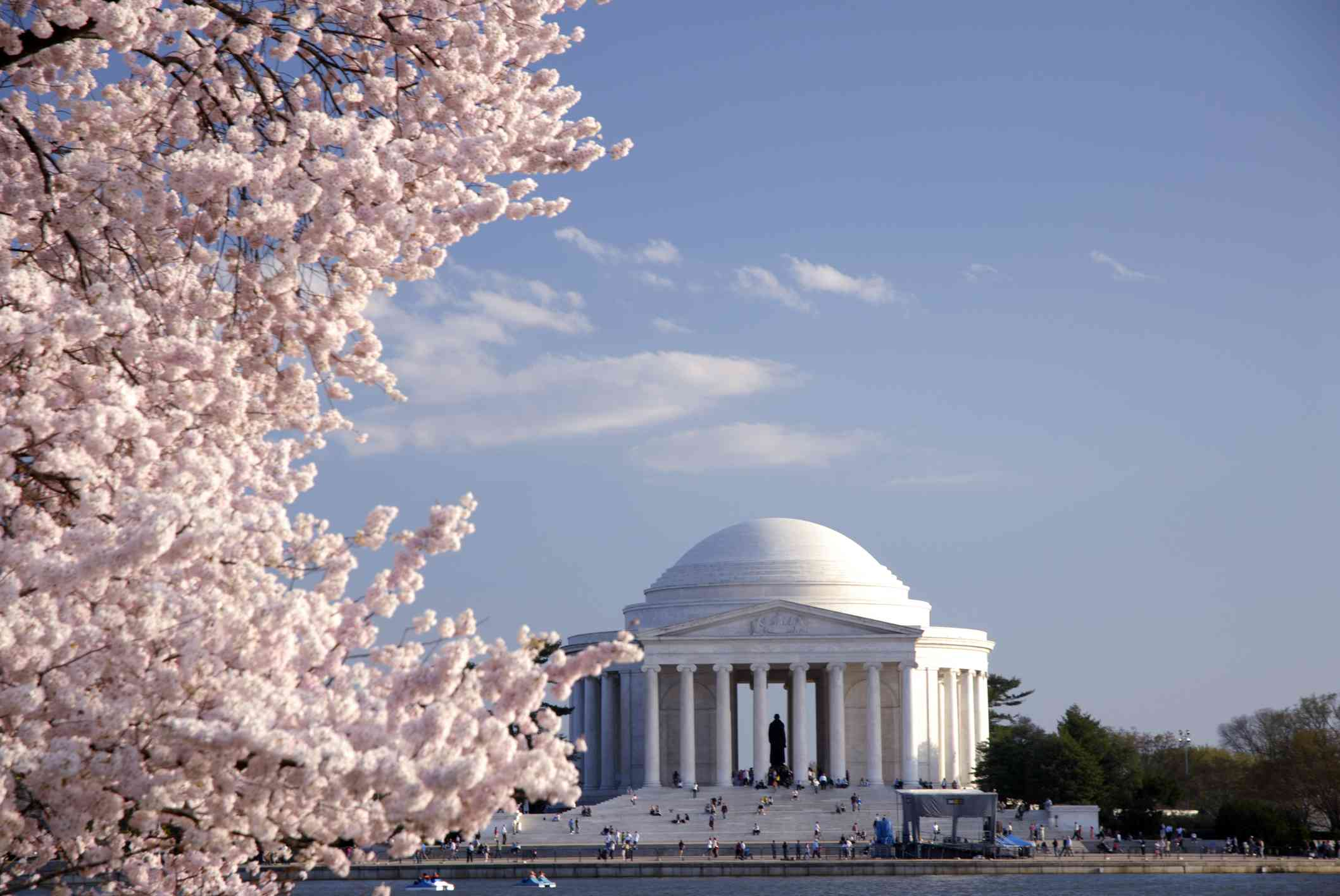 Japanese cherry blossom and Jefferson Memorial