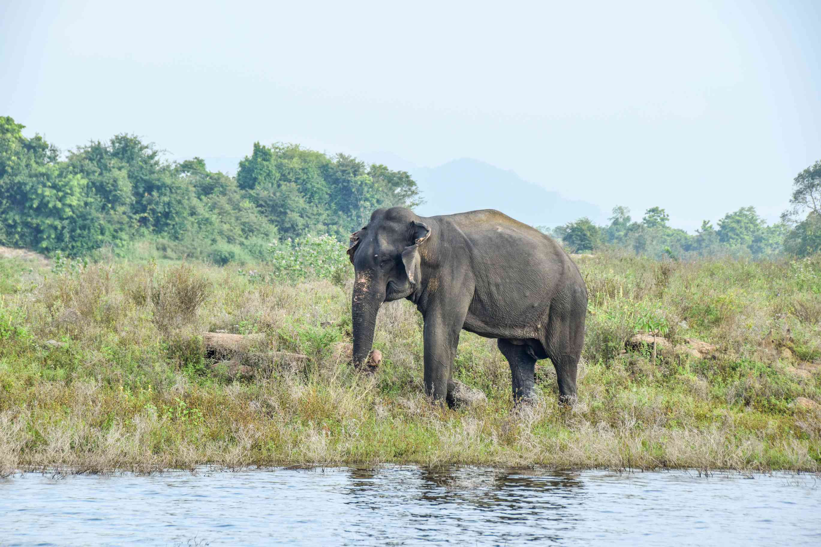 An elephant drinking water