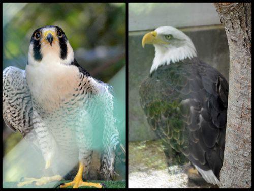 Peregrine Falcon and Bald Eagle