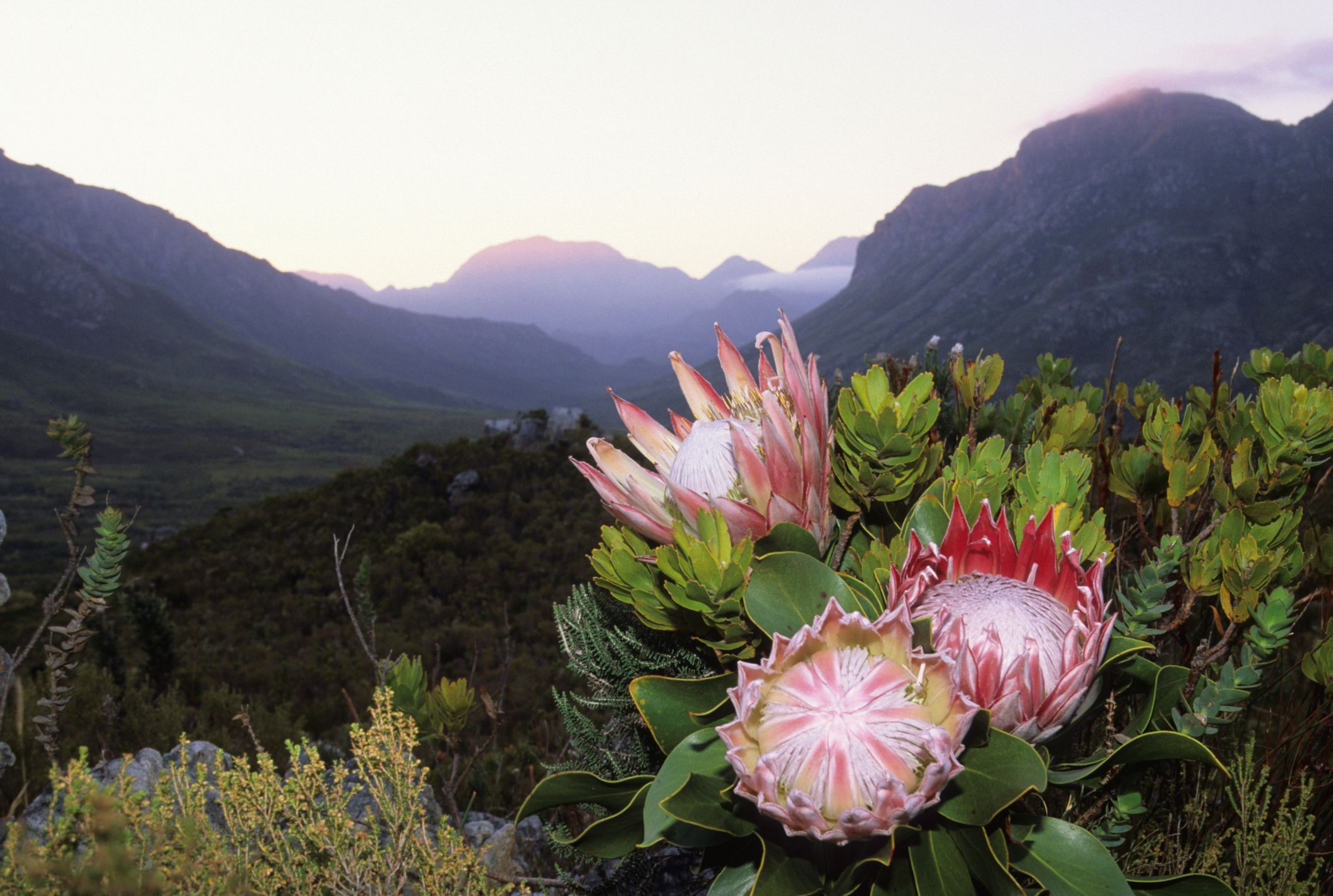 The king protea south africas national flower izmirmasajfo