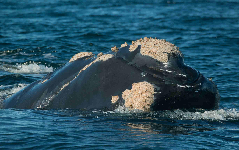 Los mejores destinos de observación de ballenas y delfines de África Ballena franca austral
