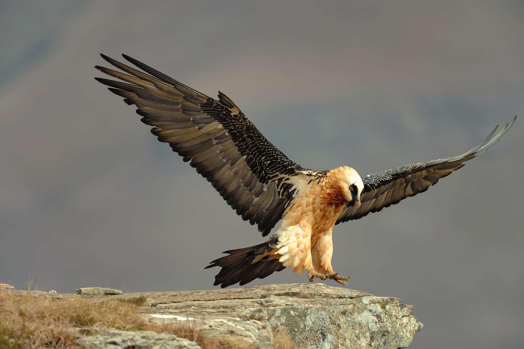 Bearded vulture or lammergeier, South Africa