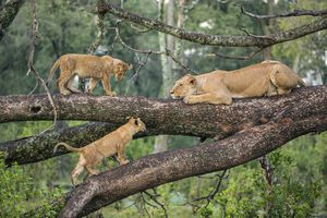 Tree-climbing lions, East Africa
