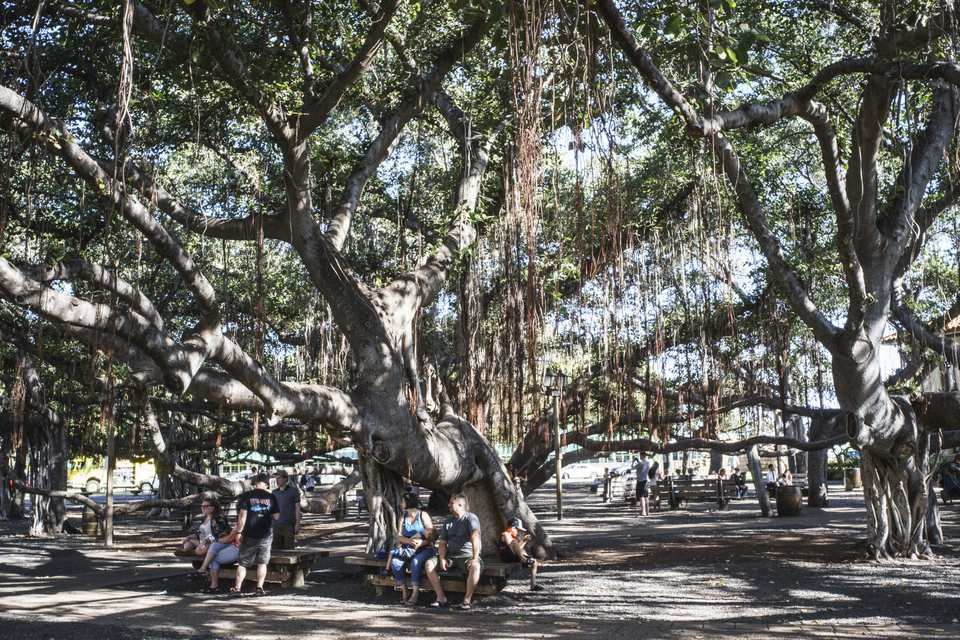 Lahaina's historic Banyan Tree