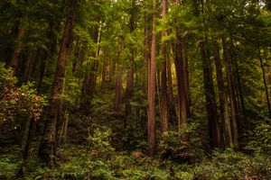 Redwood trees of Muir Woods National Monument