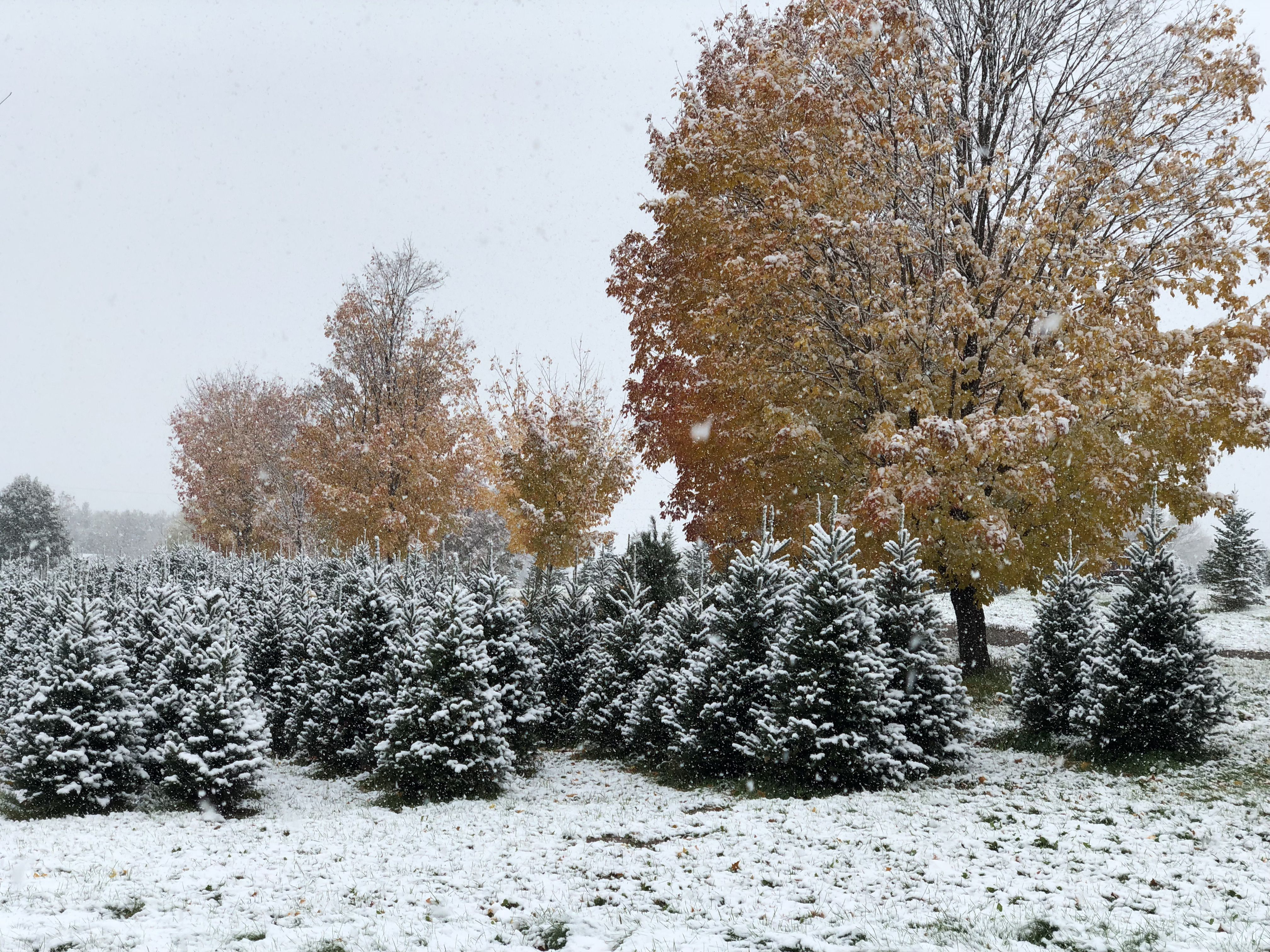 Cut Your Own Christmas Tree Near The Twin Cities