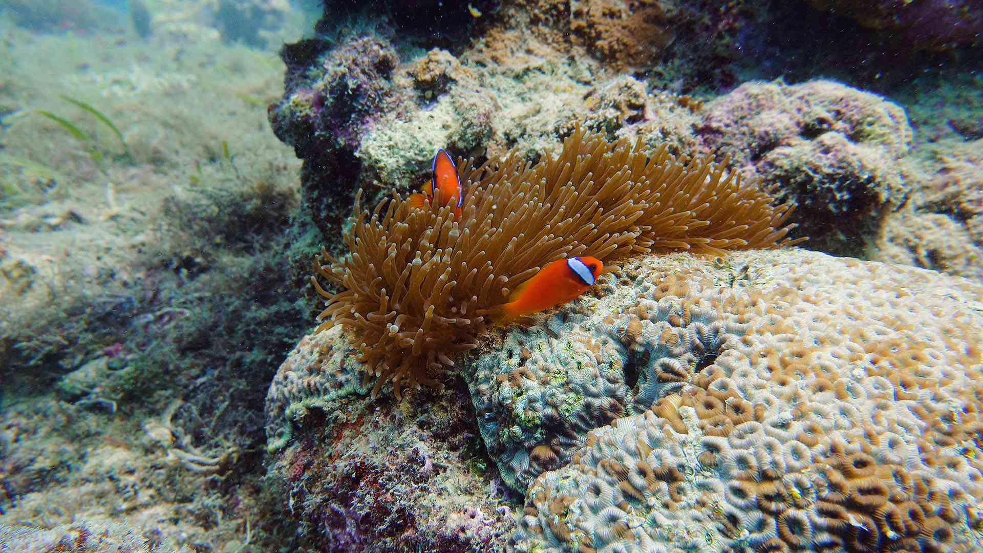 Anemones and clownfish at Camiguin