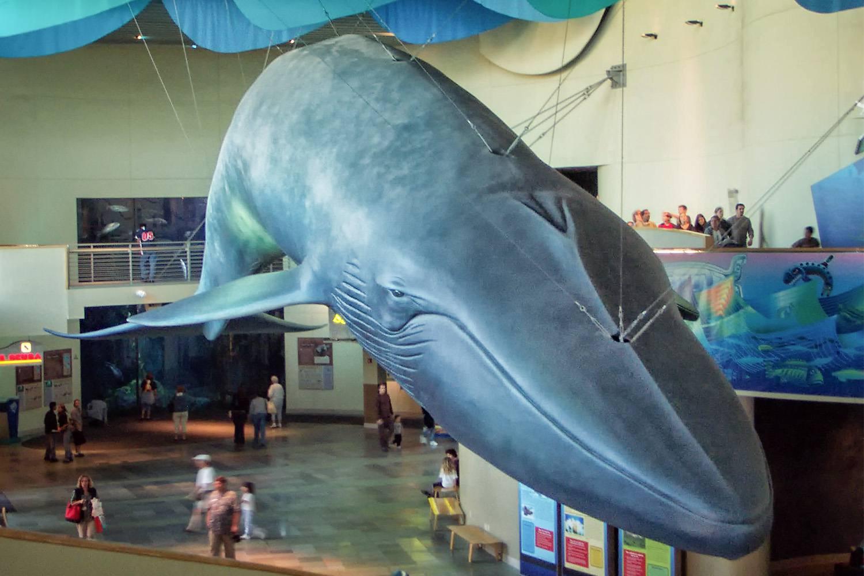Modelo de ballena azul en el acuario del Pacífico
