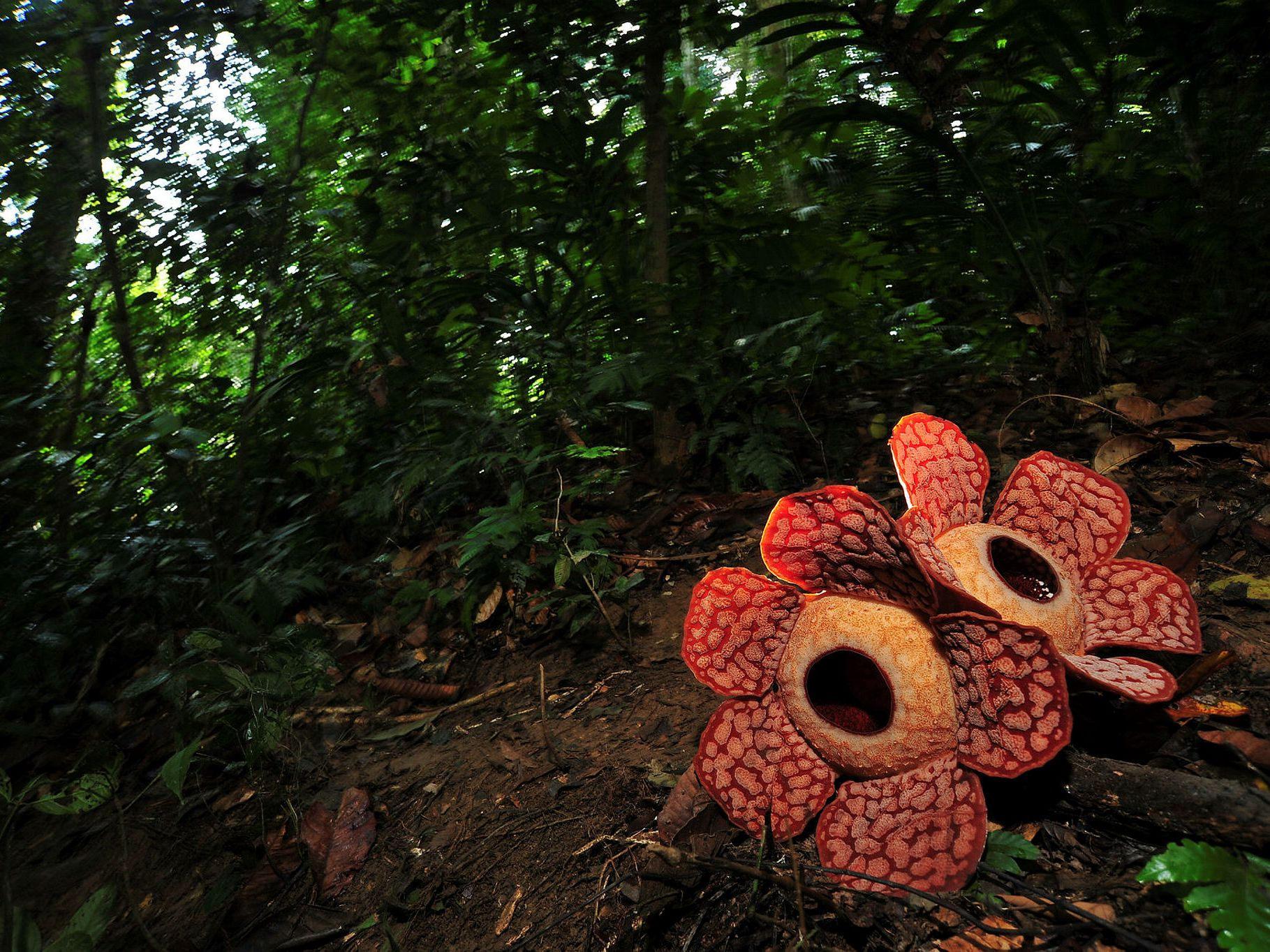 Where to Find the Rare & Heavy Rafflesia Flower