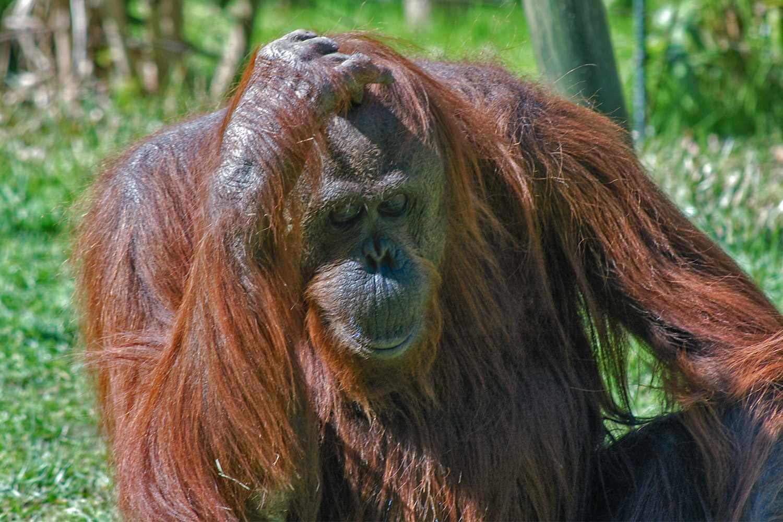 Orangutan at the San Diego Zoo