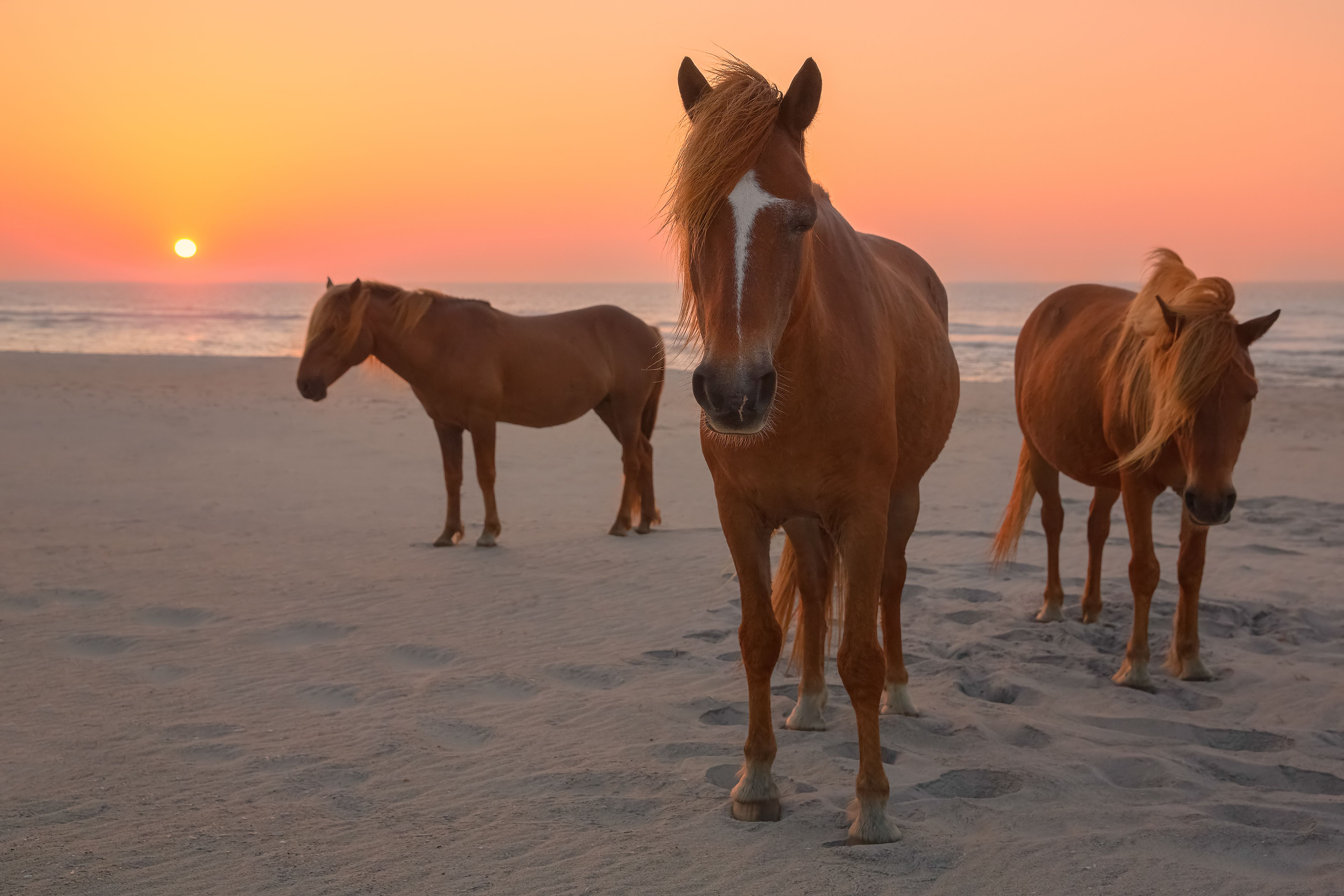 Three wild horses on Assateague Island