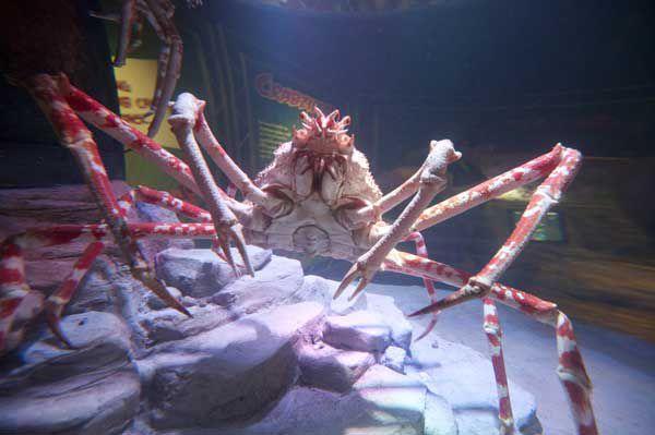 Japanese Spider Crab at Sea Life Arizona Aquarium