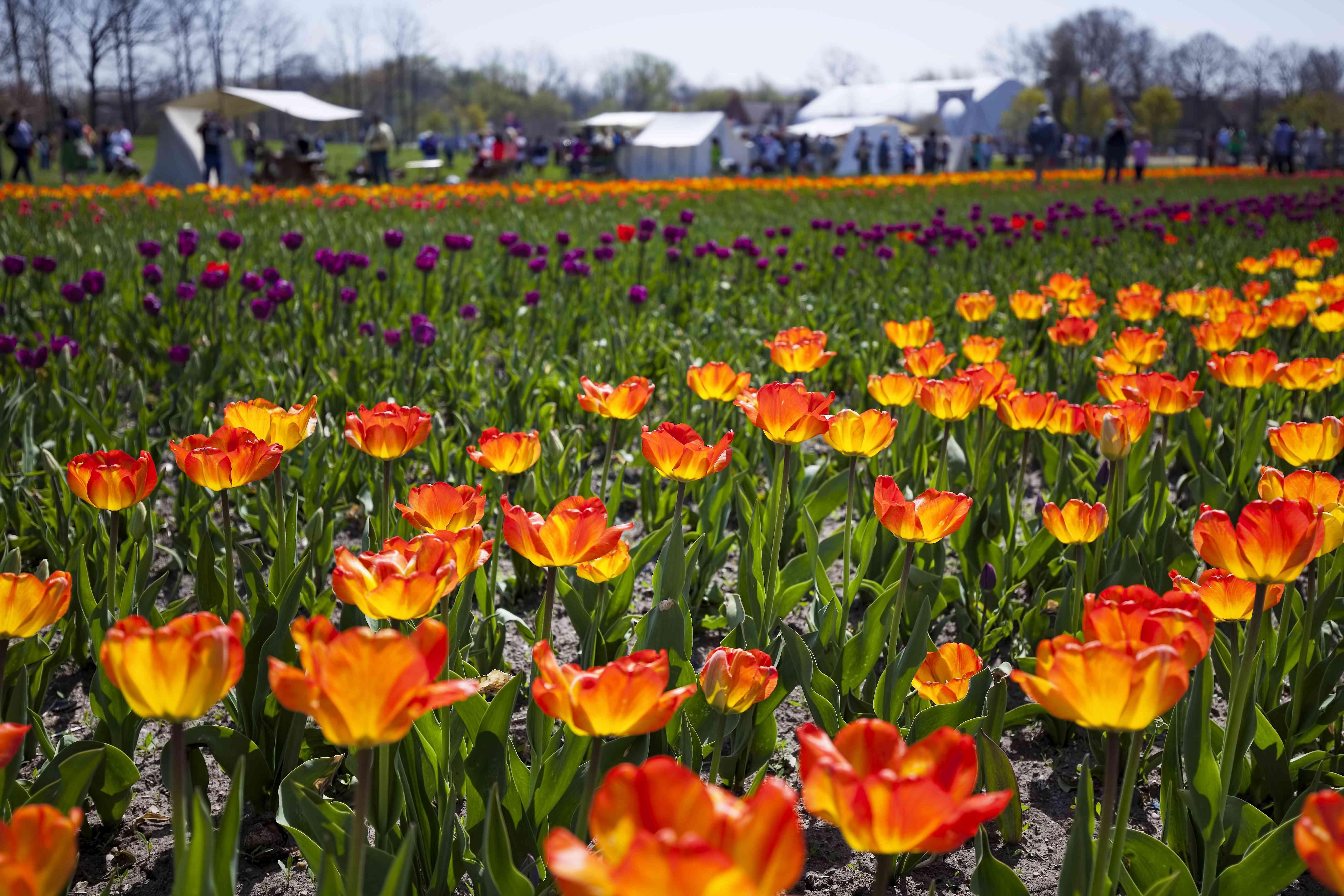 Tulip Time Festival
