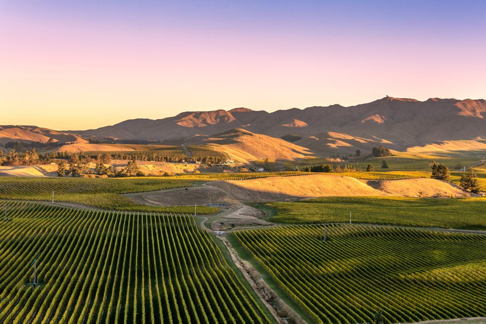 High angle view of vineyards at sunset, Blenheim, Marlborough sound, New Zealand