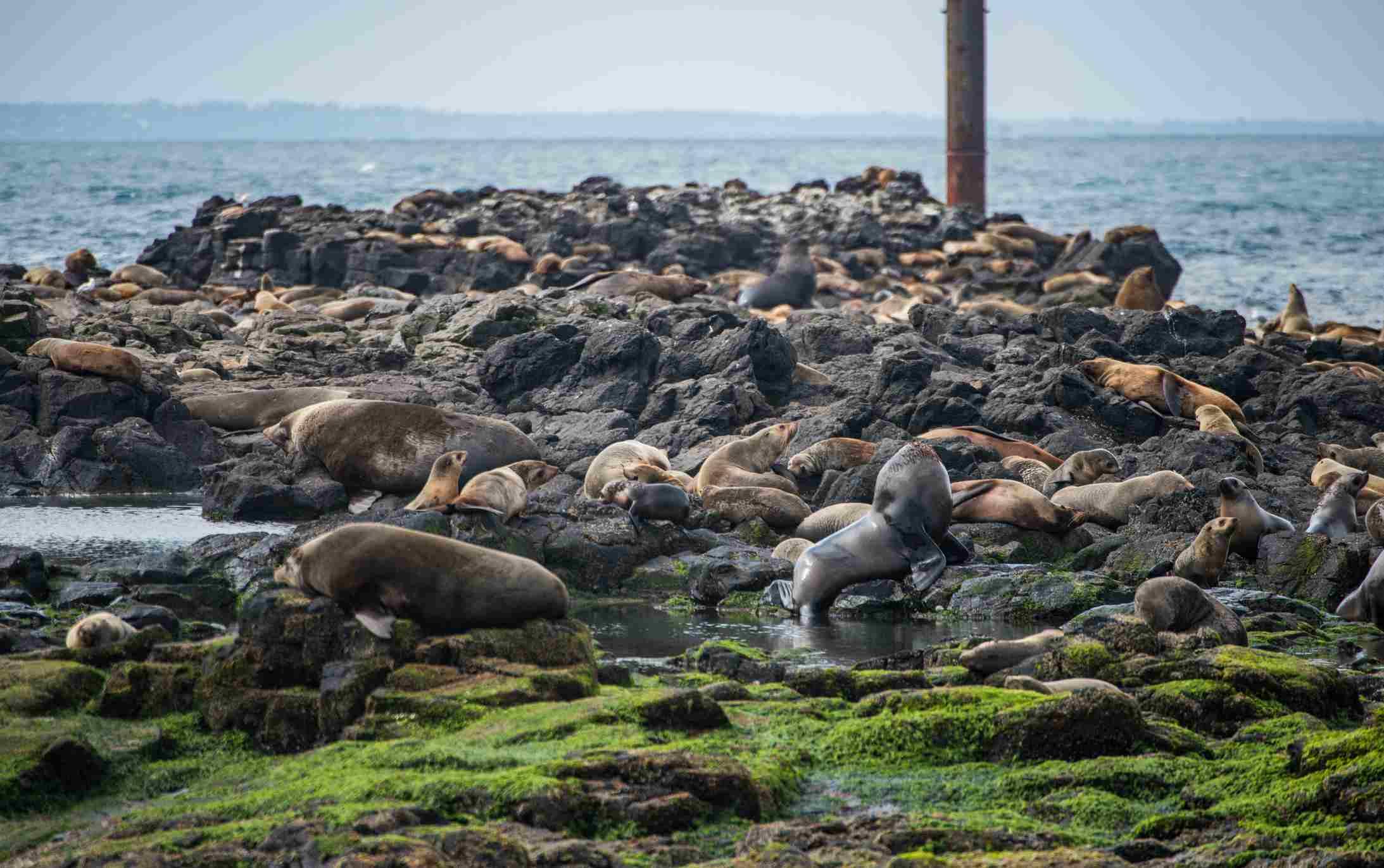 Seals colony on the seal rock of Philip island, Australia