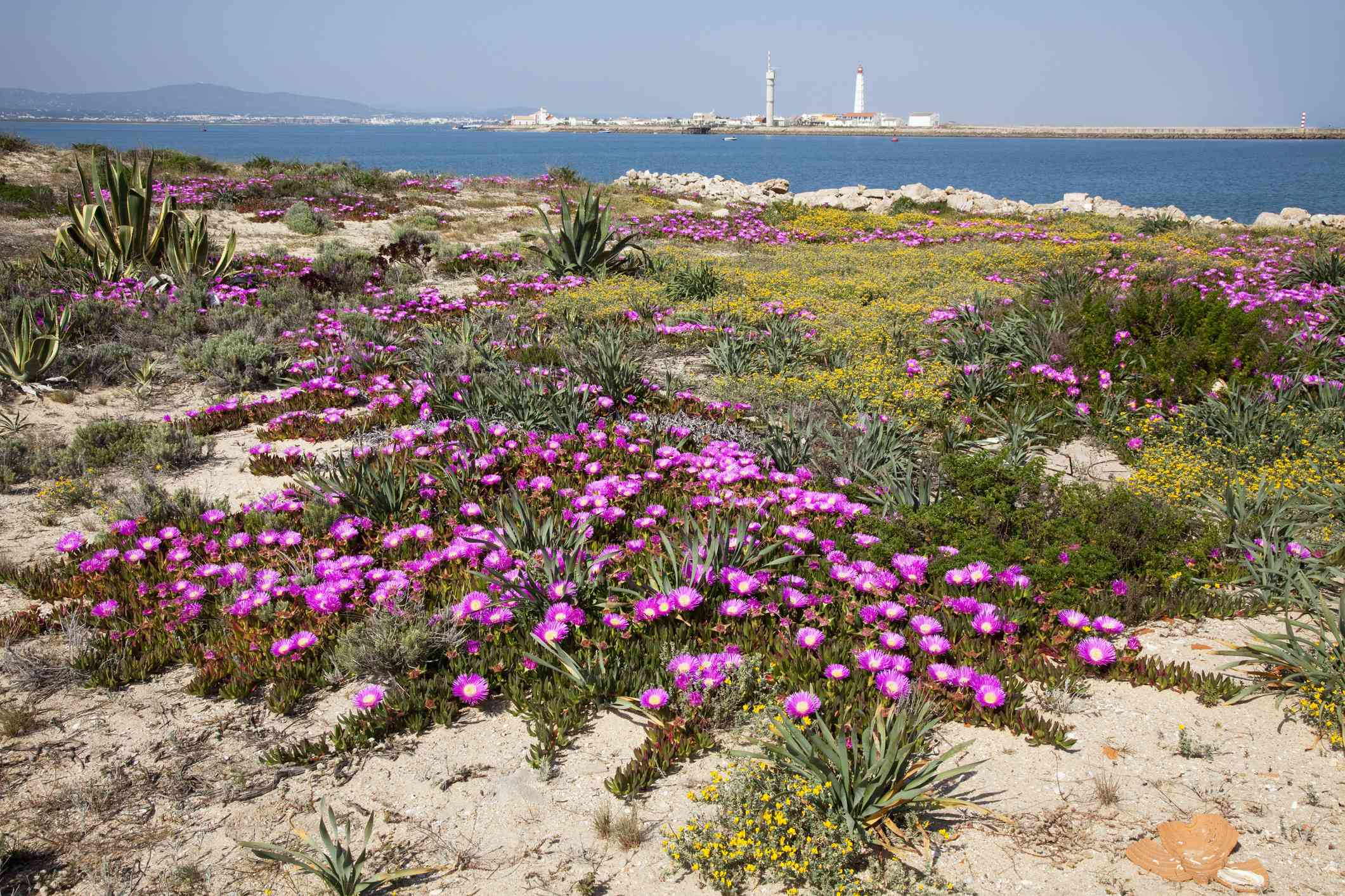 Barreta Island With Purple Flowers Growing On The Shore; Algarve Portugal