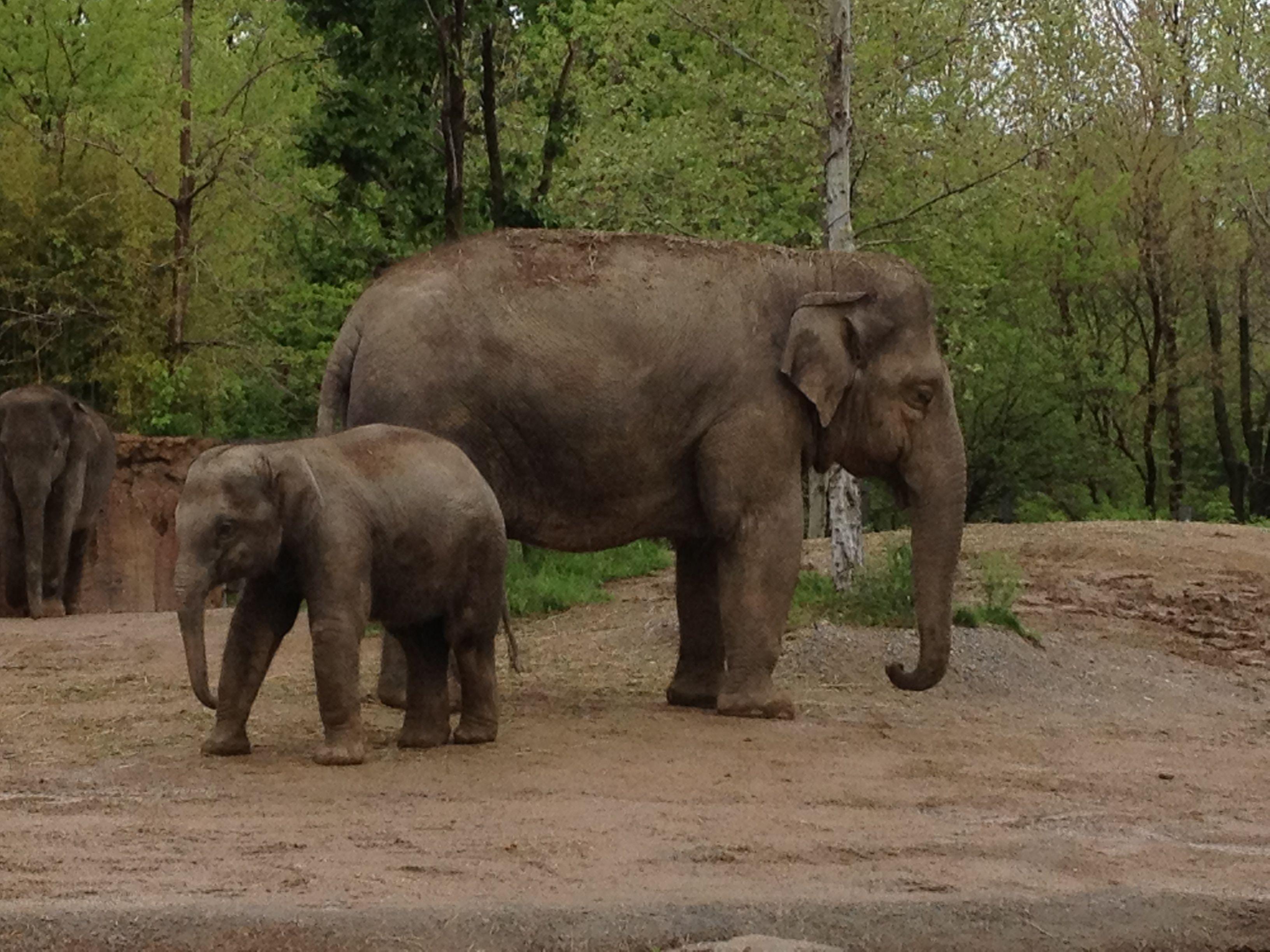 Adult and baby elephants