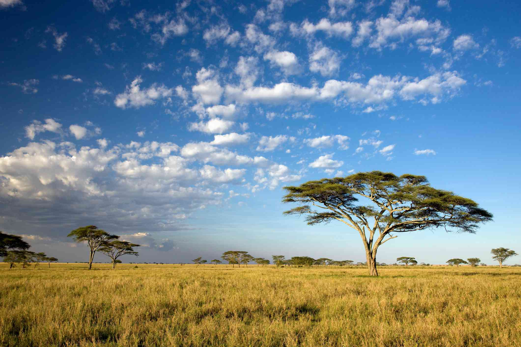 Acacia trees under blue sky with clouds in Serengeti national park