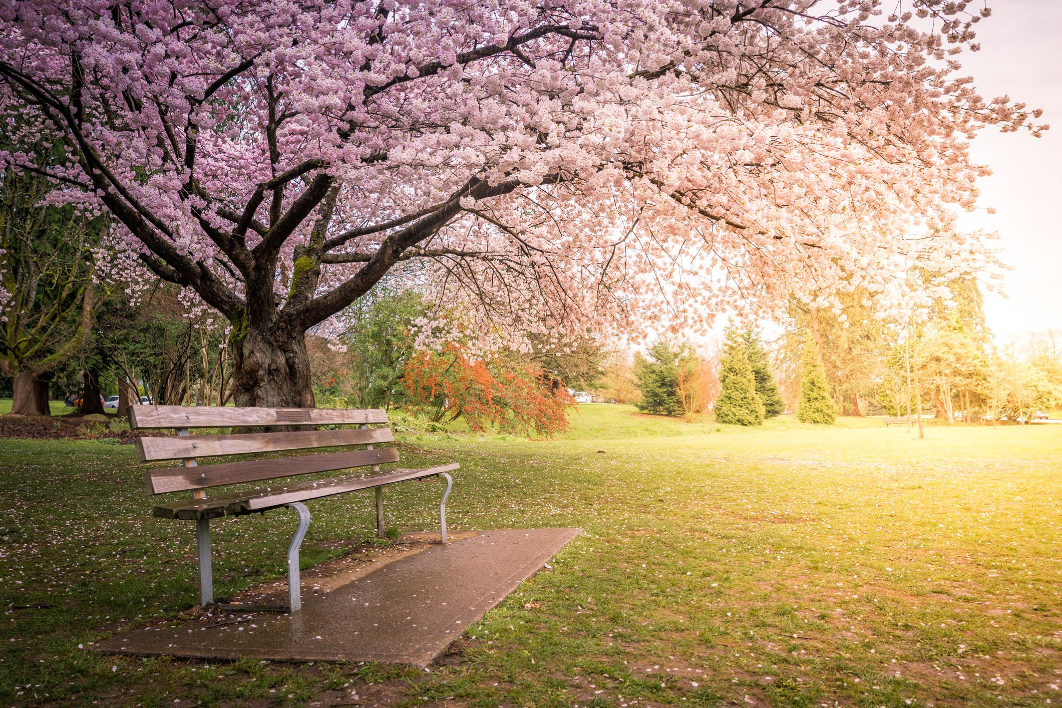 A park bench sits beneath a cherry tree in full bloom in Queen Elizabeth Park in Vancouver, Canada