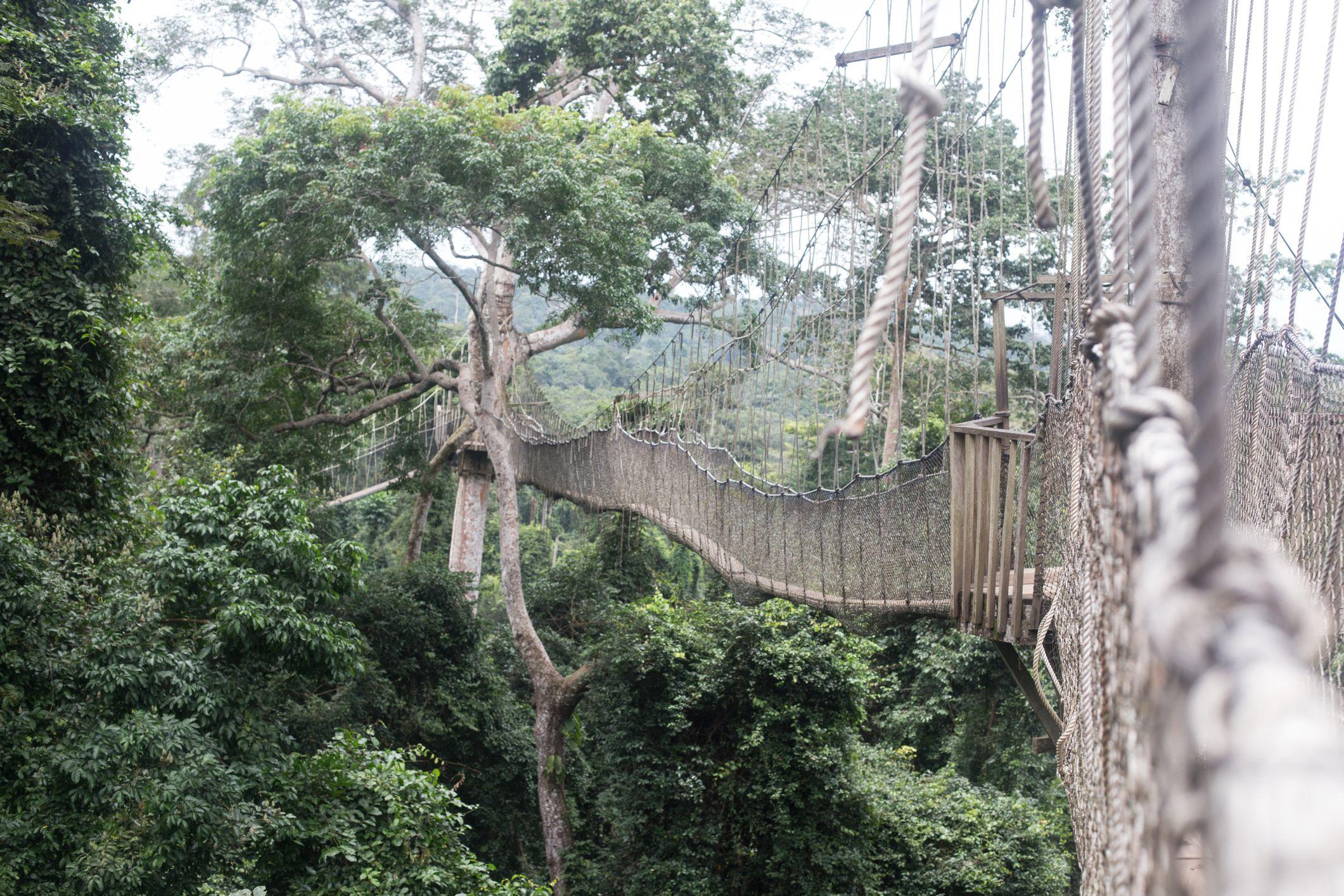 Canopy walk rope bridge in Kakum National Park