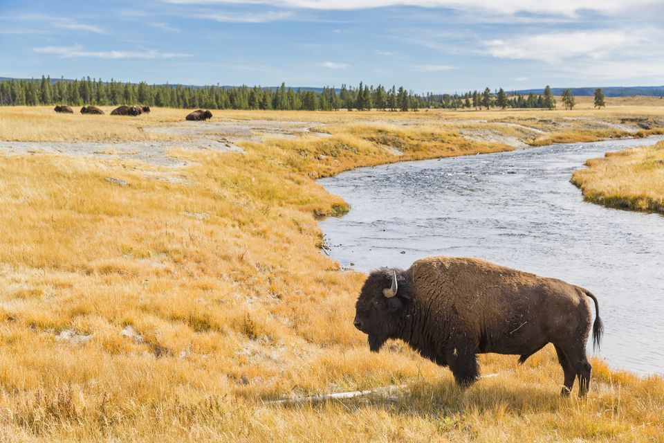 USA, Wyoming, Yellowstone National Park, American Bison at Firehole River