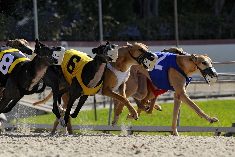 Greyhound dogs during a race at a Fort Myers racetrack.