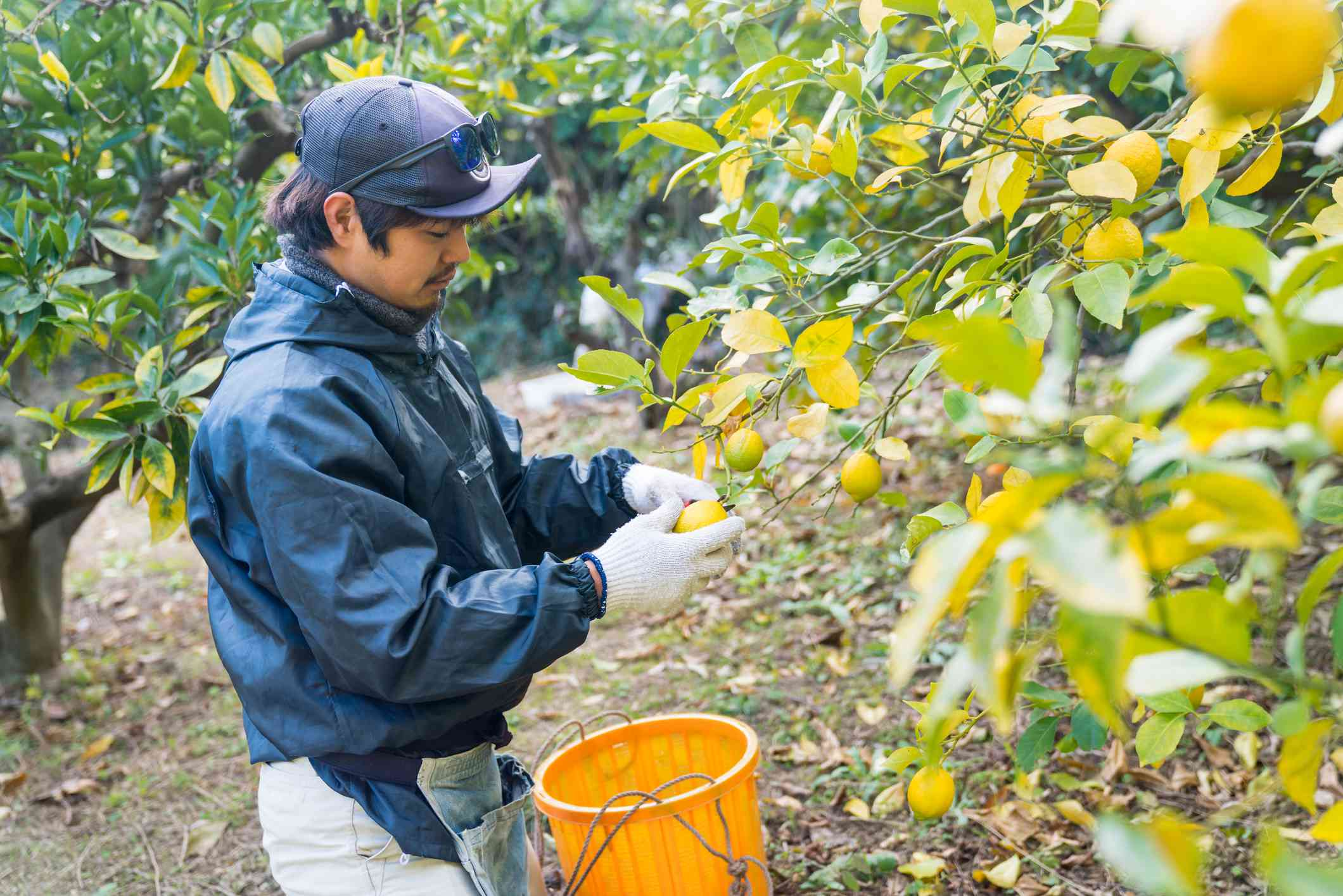East asian Man harvest lemons from a tree