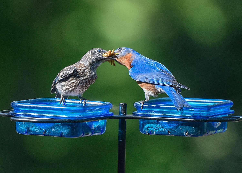 Male bluebird feeding baby bird