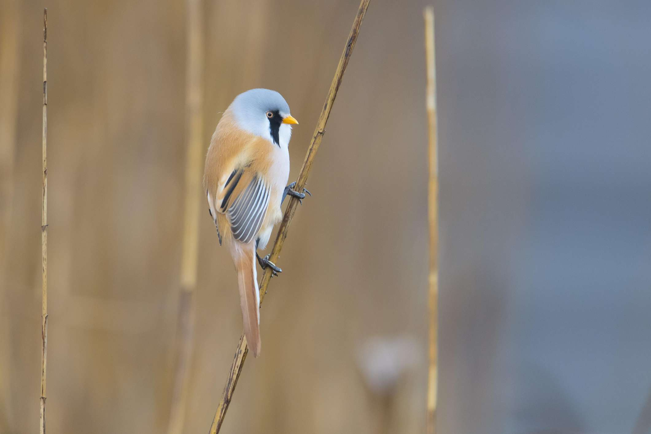 Bearded tit on a reed stalk