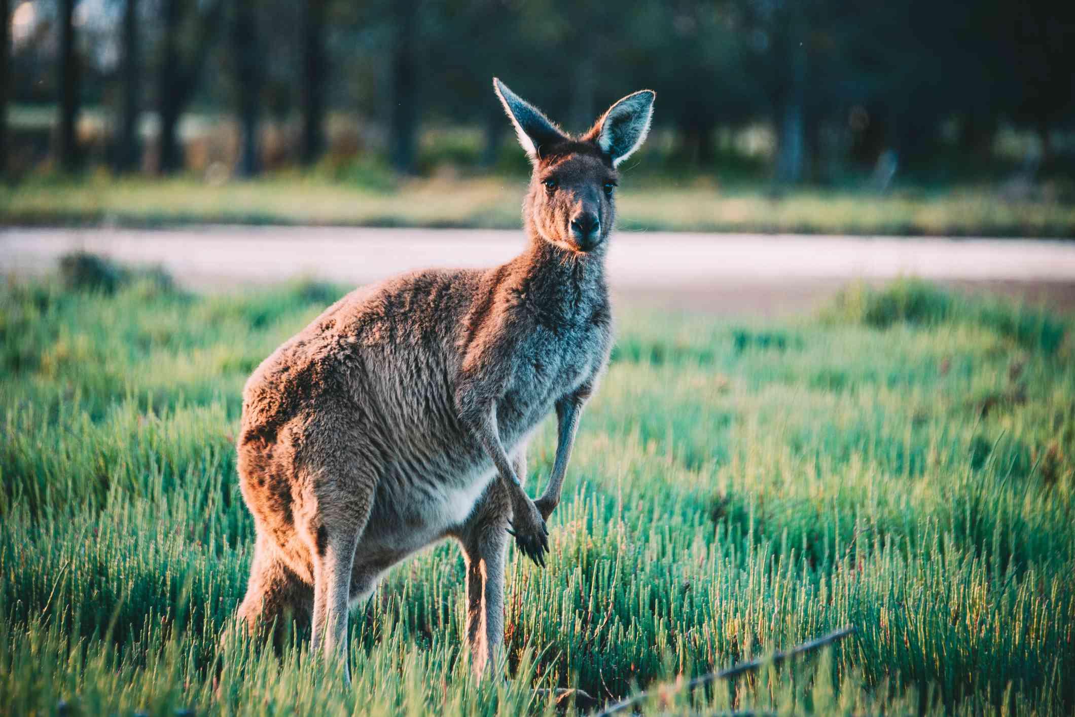 Heirisson Island kangaroo