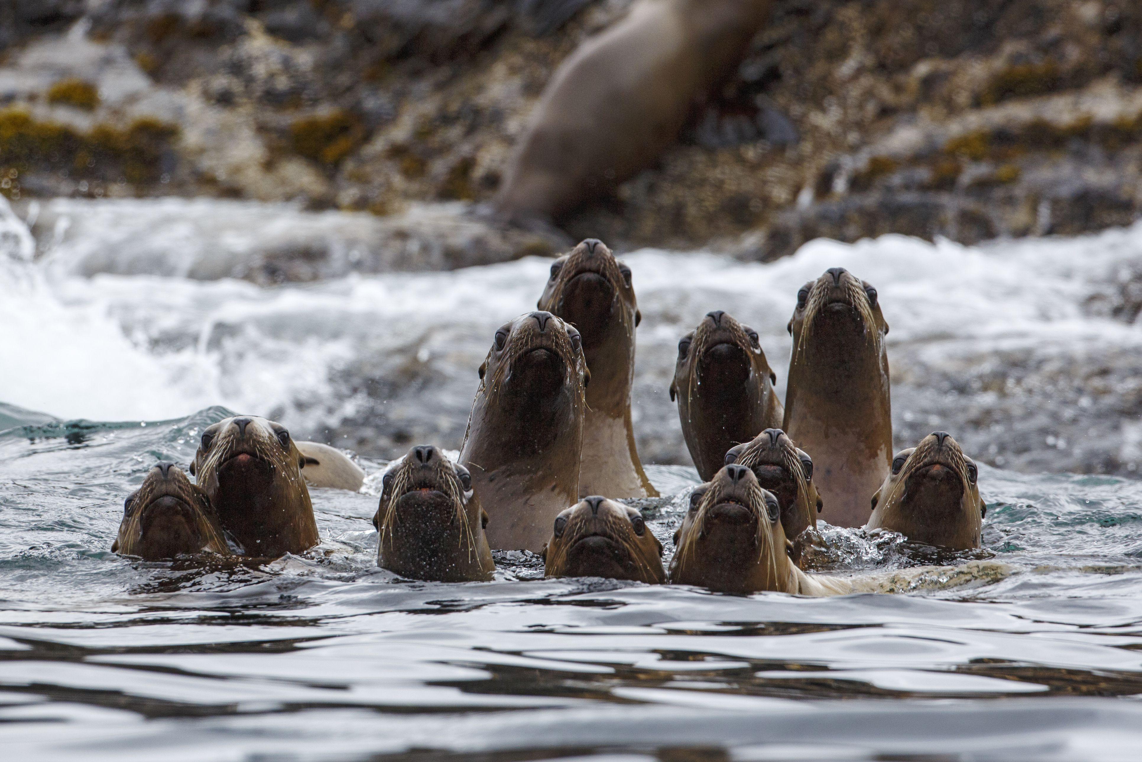 Steller sea lion, Eumetopias jubatus,Gwaii Haanas National Park Reserve, Queen Charlotte Islands, BC, Canada