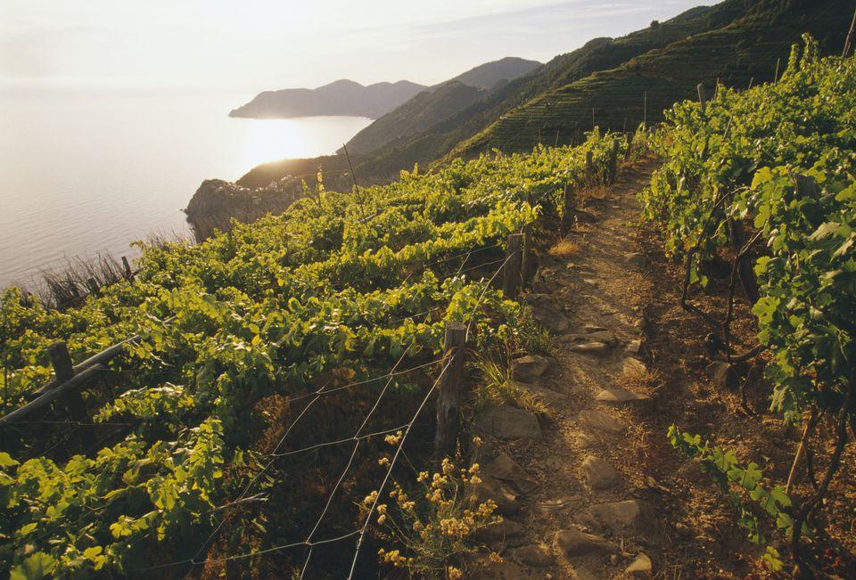 Vineyard Along Trail to Corniglia in Northern Italy