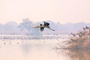 Painted stork in flight at Bharatpur.