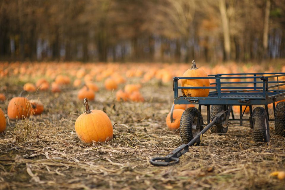 A wagon in a pumpkin field