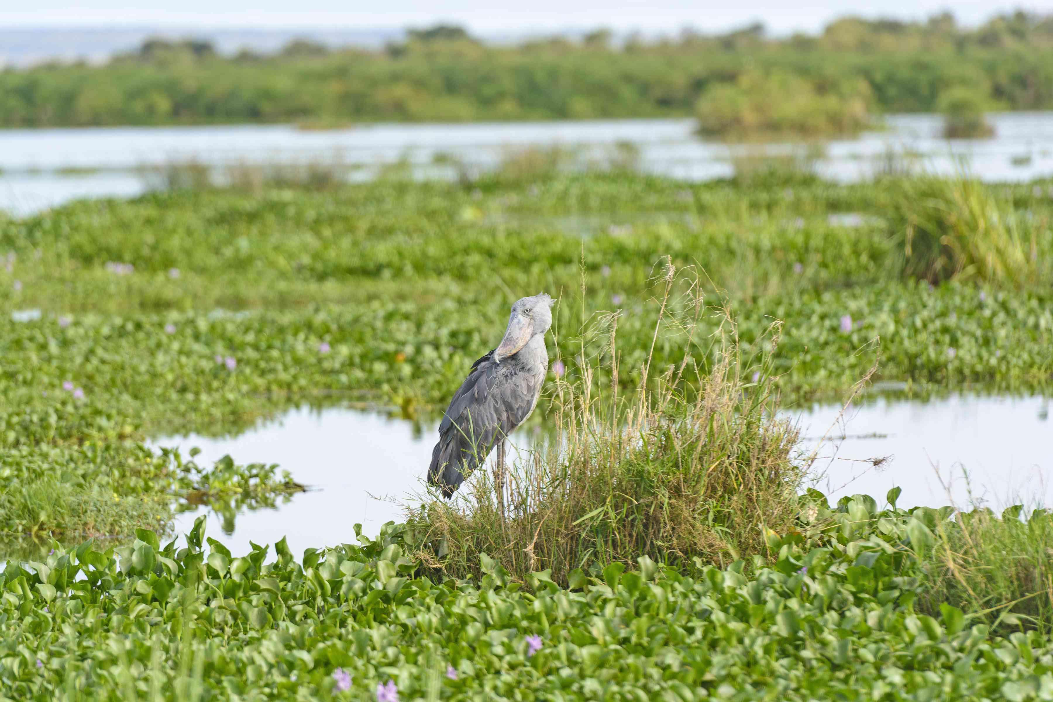 Shoebill stork in the delta swamps of Murchison Falls National Park