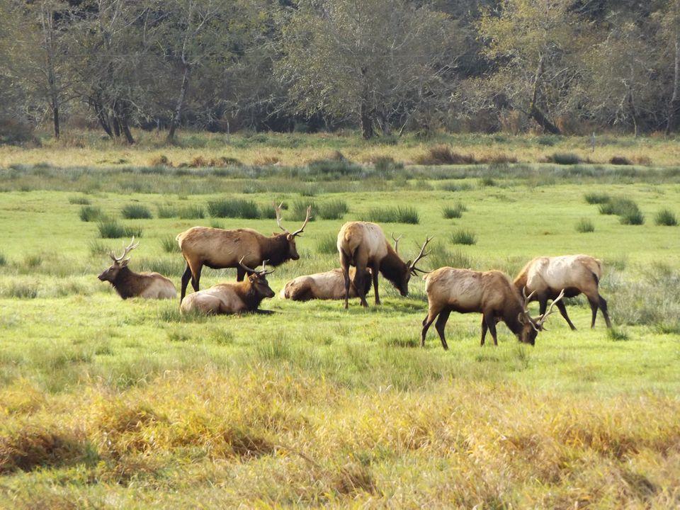 Elk in Reedsport, Oregon