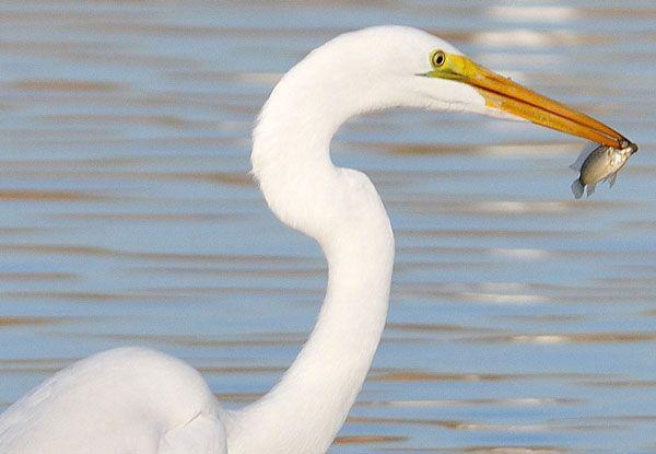 White Heron and Fish