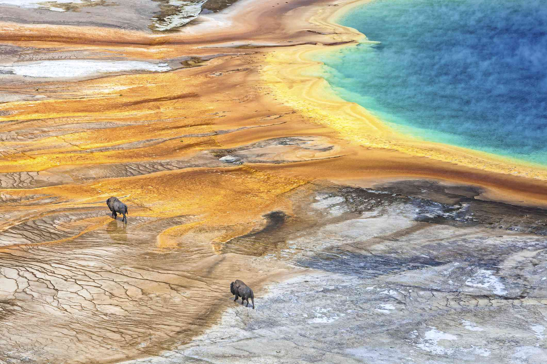 Grand Prismatic Geyser with American Bison passing by, Yellowstone National Park