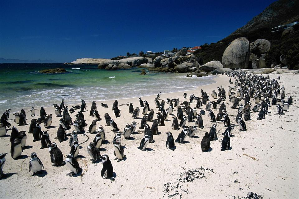 South Africa, Western Cape Province, penguins on beach