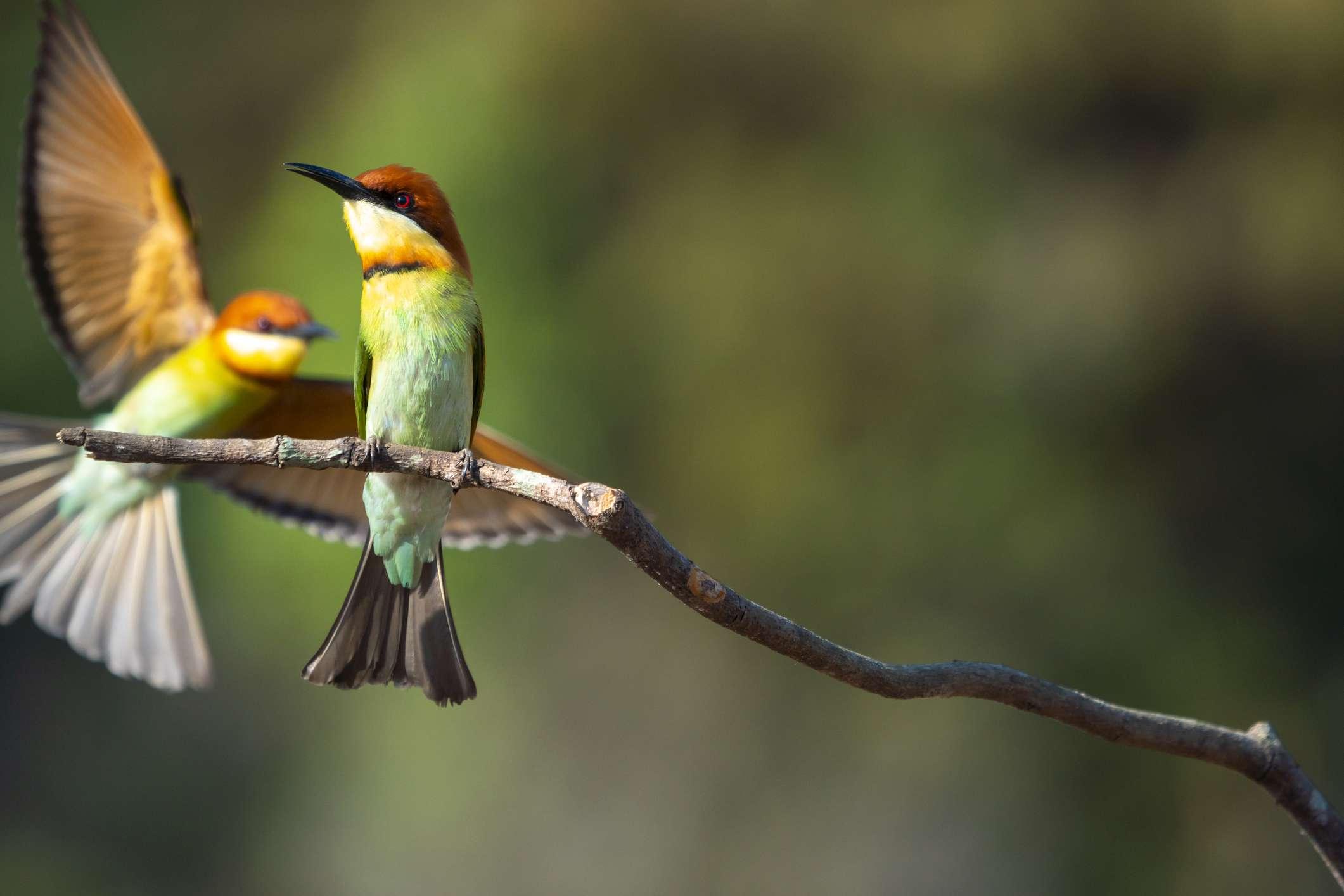pequeños pájaros coloridos abejarucos sentados en una rama