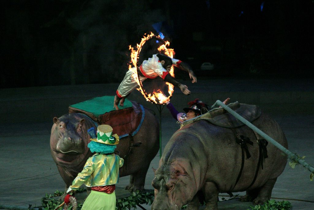 Pongo the monkey jumps through a flaming hoop at the Chime Circus in Guangzhou.